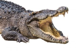 alligator opening its mouth against a white background